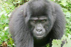gorilla_web_1